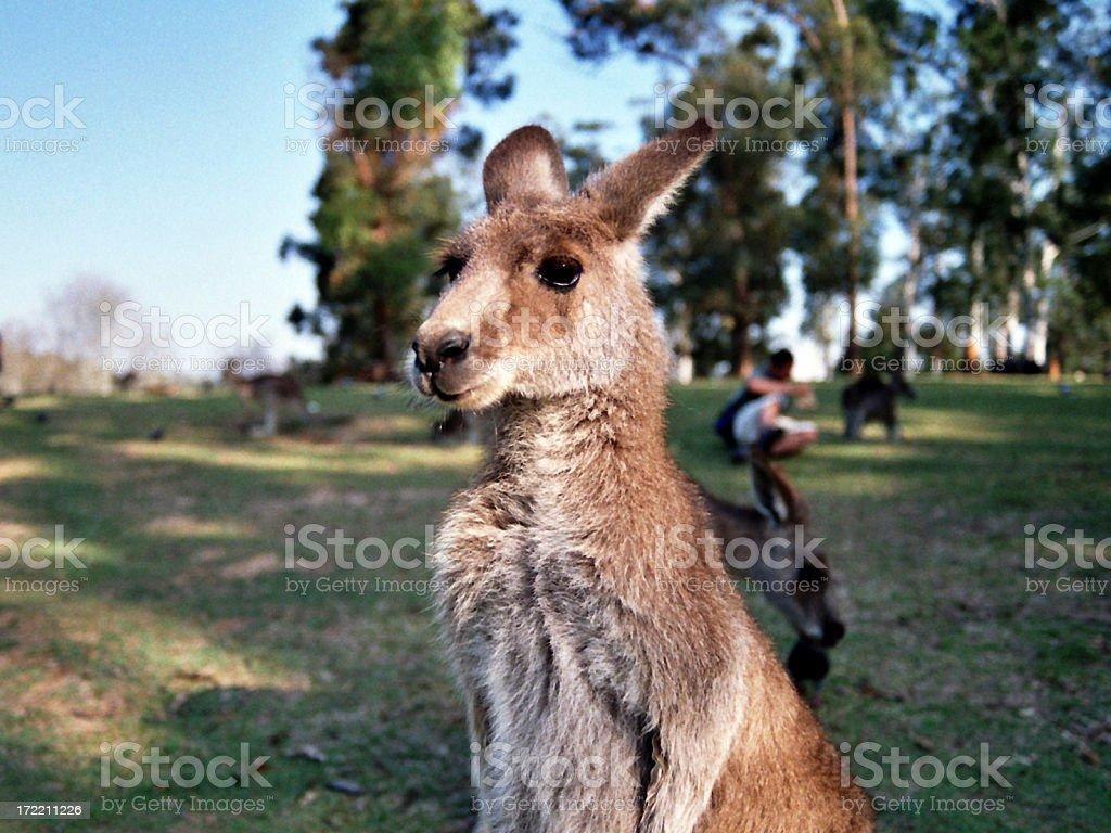 Australian Kangaroo stock photo