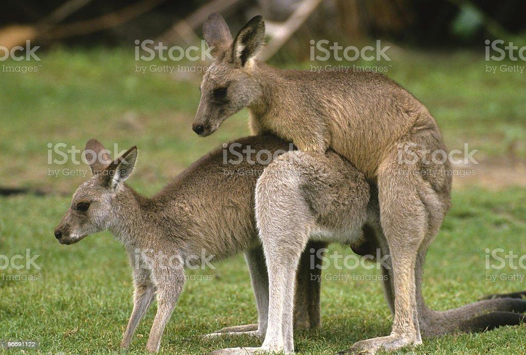 Australian Kangaroos Mating royalty-free stock photo