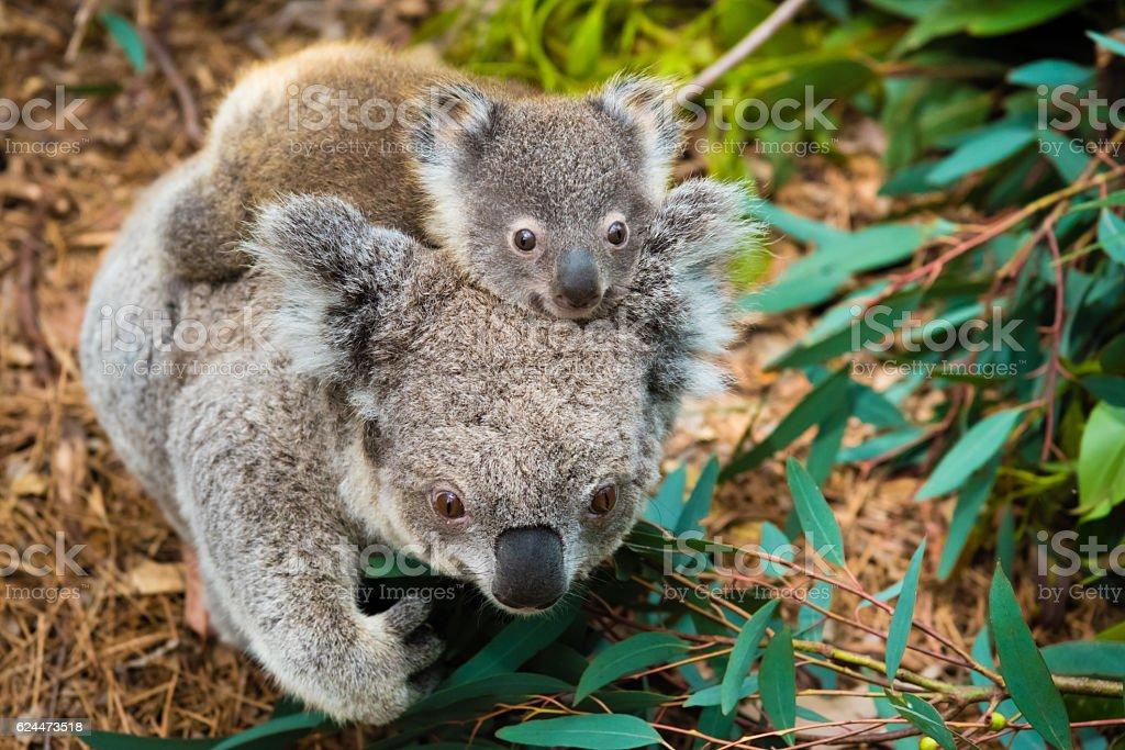 Australian koala bear native animal with baby stock photo