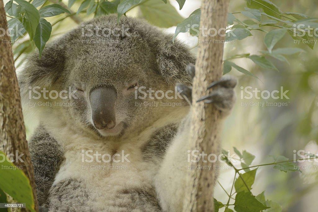 Australian Koala Bear royalty-free stock photo