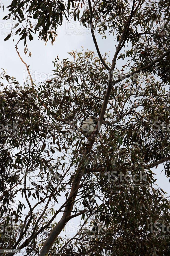 Australian Koala Phascolarctos cinereus in a Eucalyptus Gum Tree stock photo