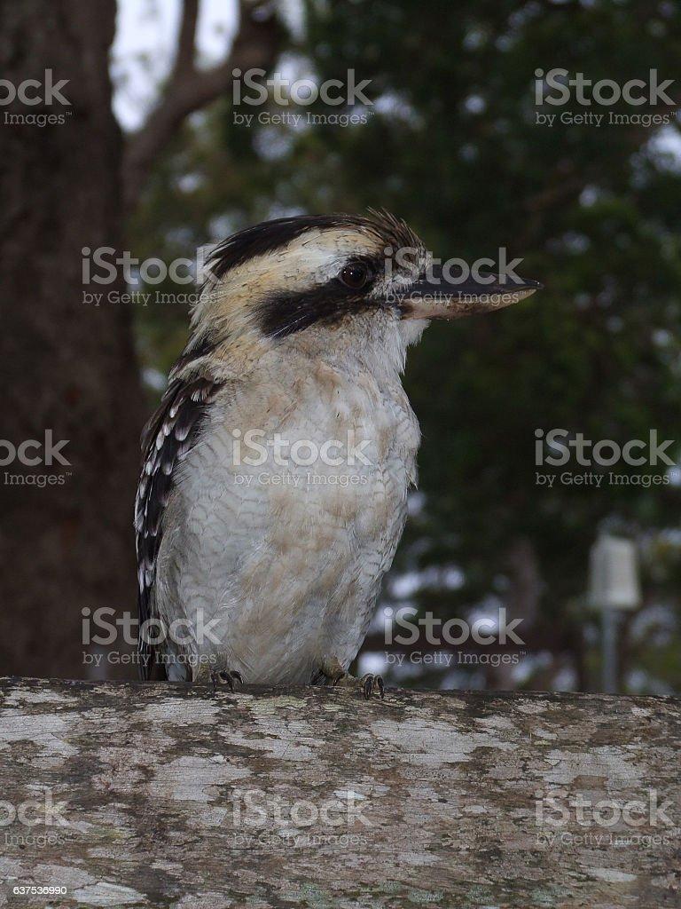 Australian Kookaburra stock photo