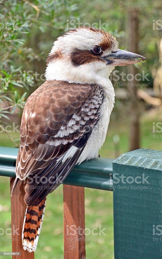Australian Laughing Kookaburra stock photo