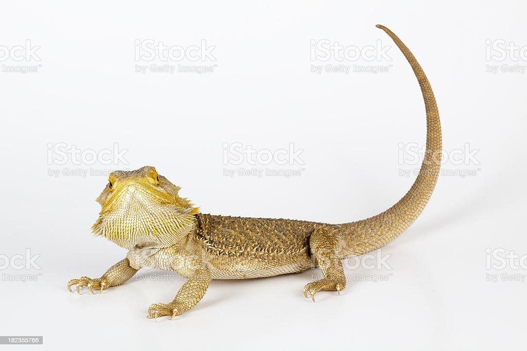 Australian lizard stock photo
