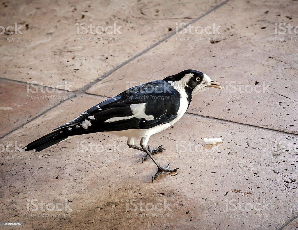 Australian Magpie-lark or Peewee Bird Eating Food Scraps stock photo
