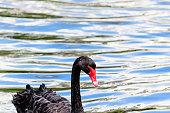 Australian Male Black Swan on a fresh water lake