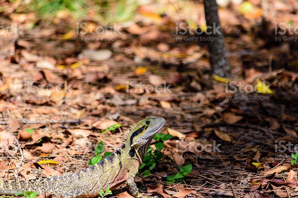 Australian Male Water Dragon stock photo
