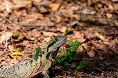 Australian Male Water Dragon