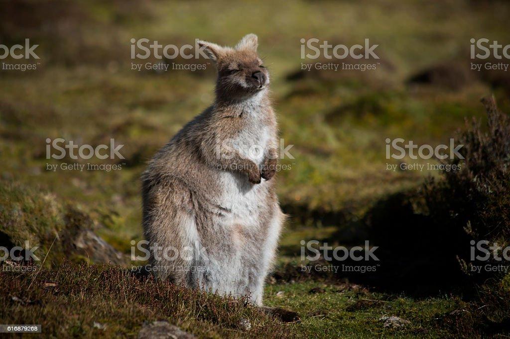 Australian Marsupial stock photo