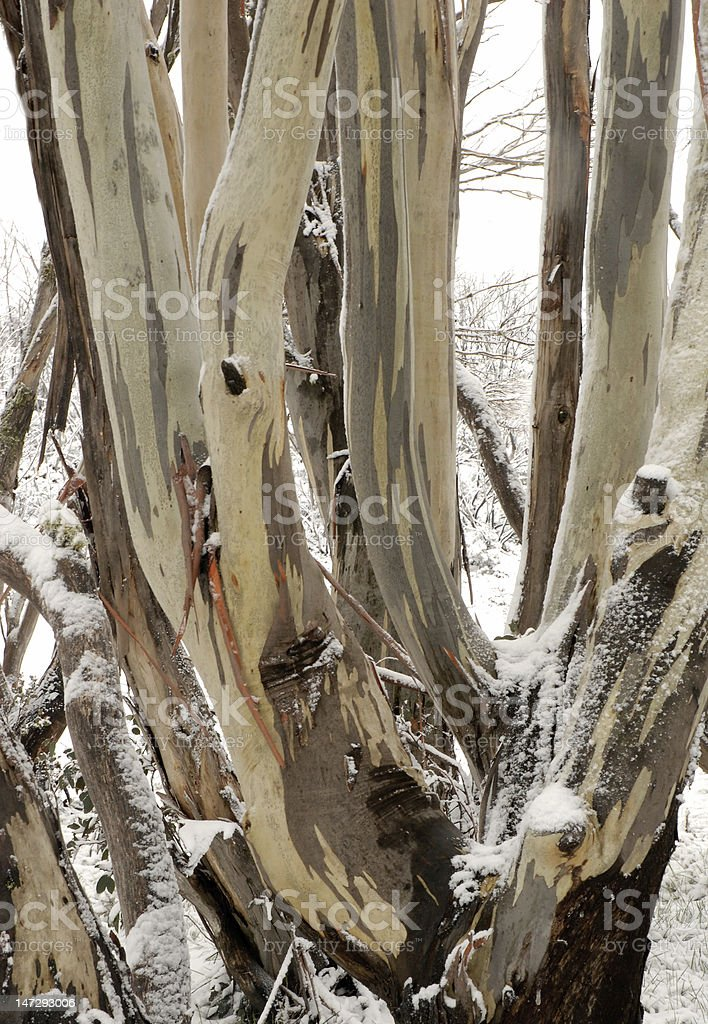 Australian Mountain Gum stock photo