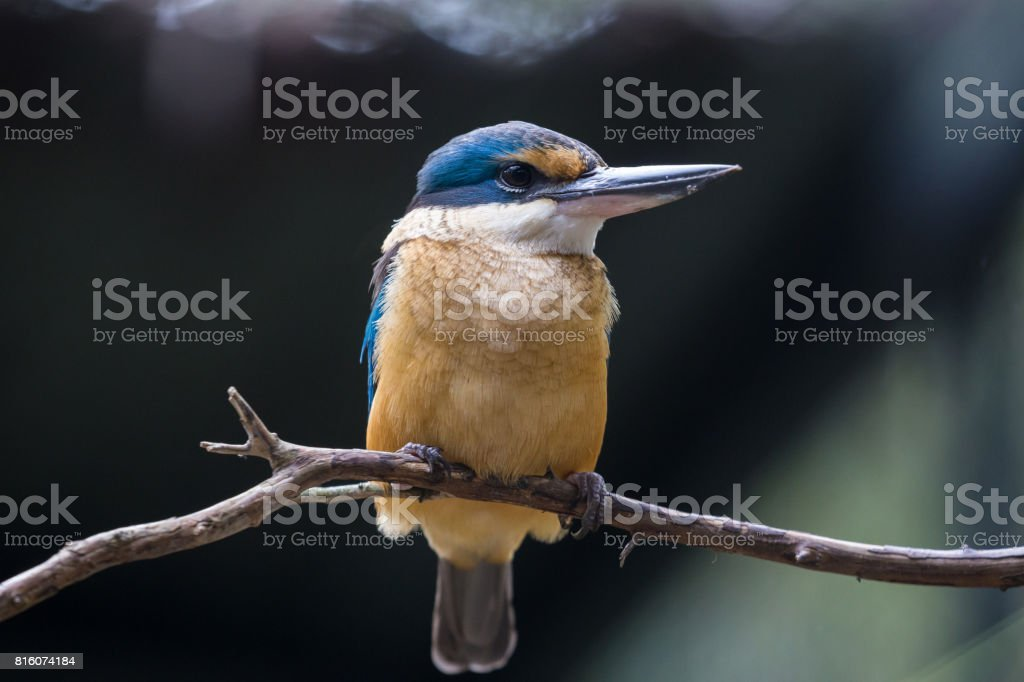 Australian multicolored Kingfisher bird sits on a stick stock photo