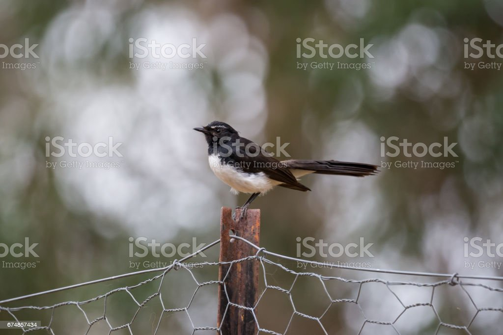Australian Native Bird the Willy Wagtail sits on chicken wire fence stock photo