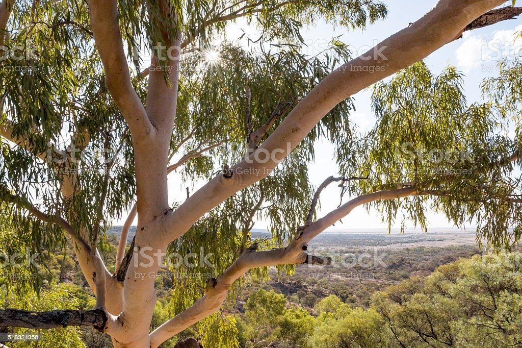 Australian native Eucalyptus / Gum tree stock photo