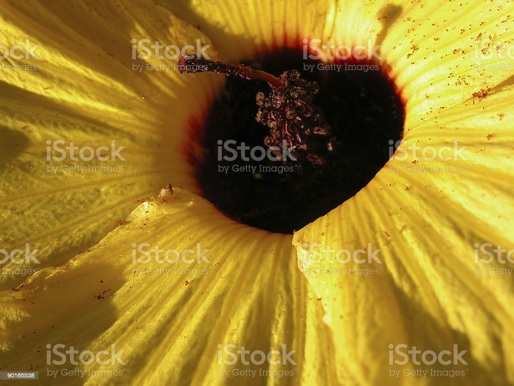 Australian Native Hibiscus stock photo