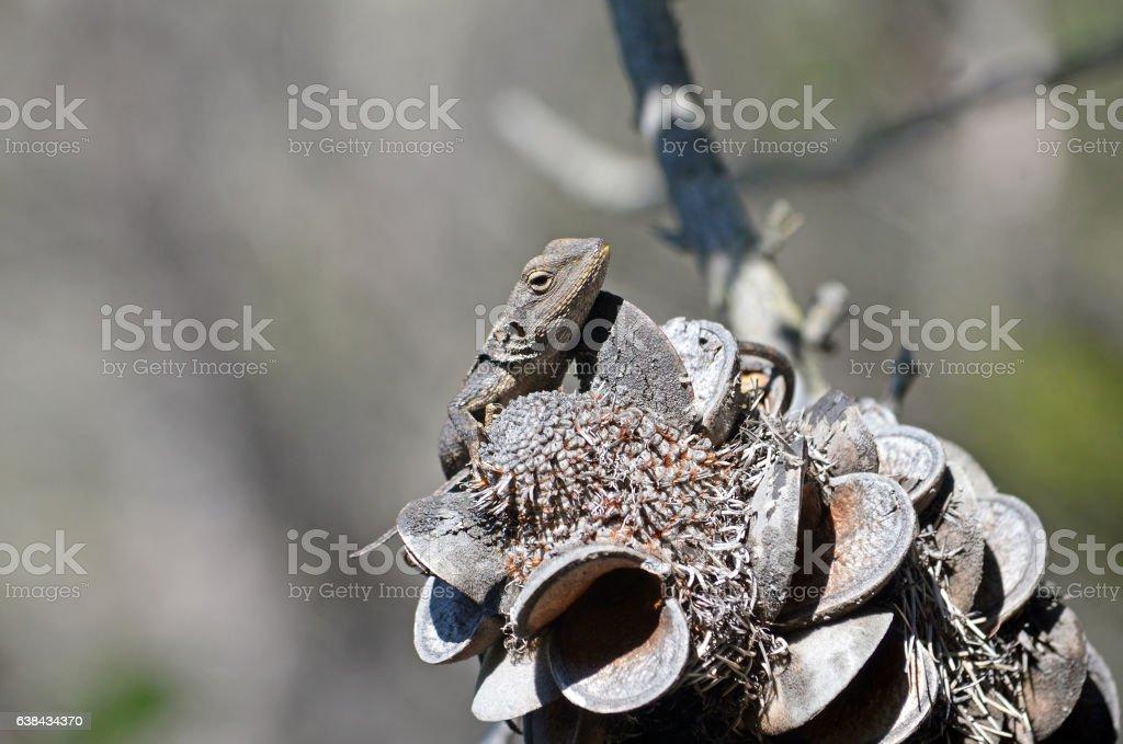 Australian native Jacky Dragon lizard stock photo