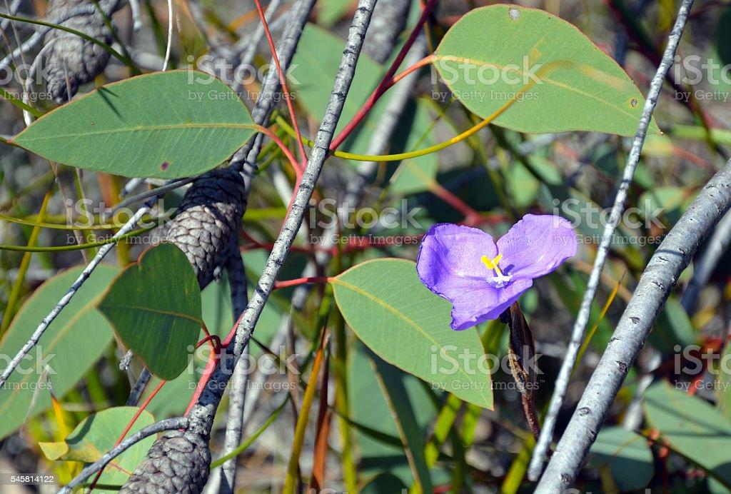 Australian native wildflower, the leafy purple flag iris (Patersonia glabrata) stock photo