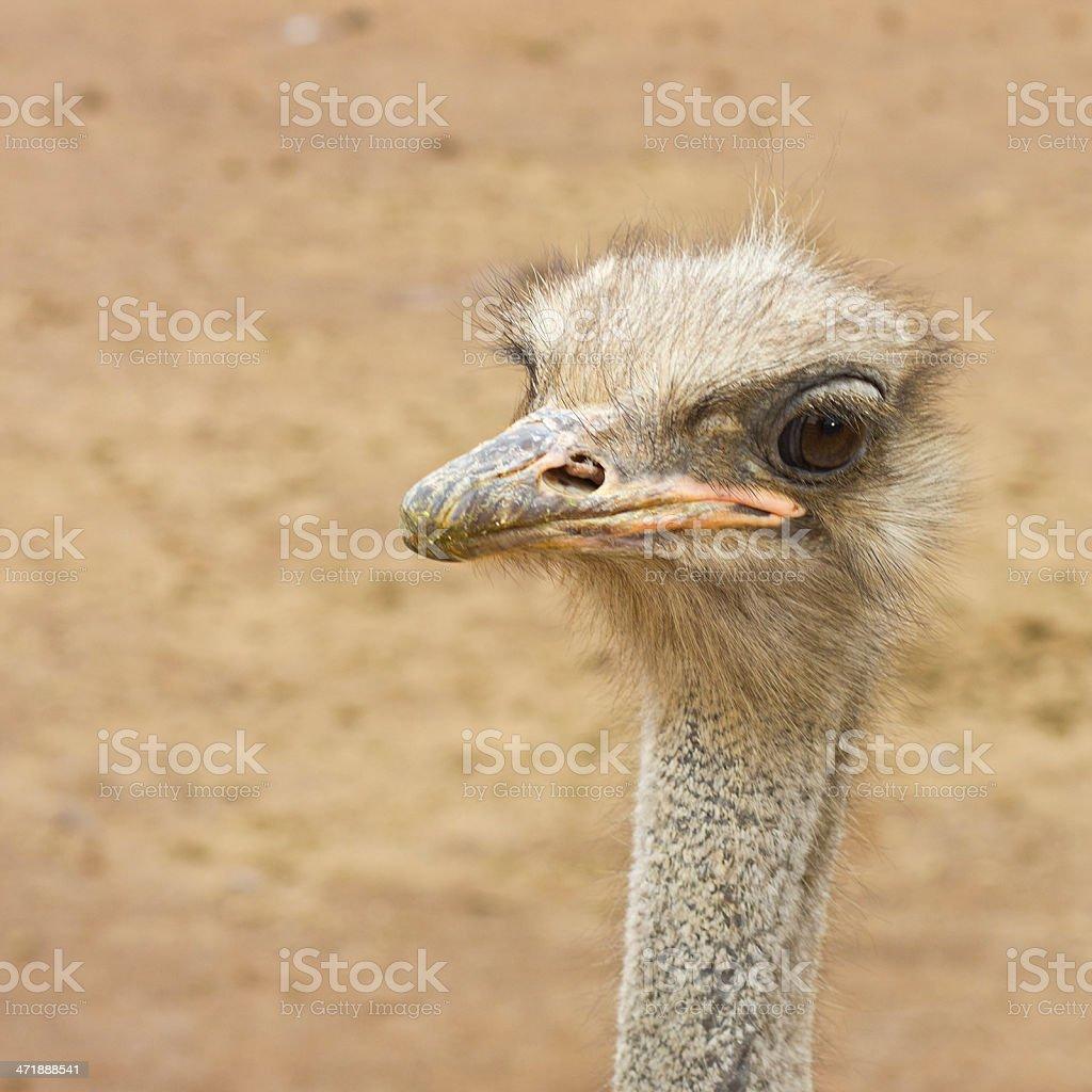 Australian Ostrich royalty-free stock photo