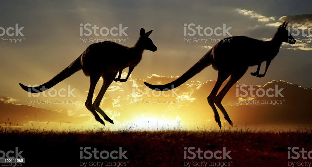 Australian outback kangaroo  series stock photo