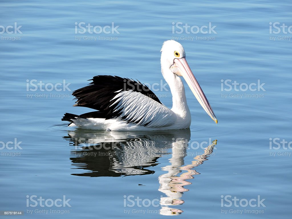 Australian Pelican in light blue water with reflection stock photo