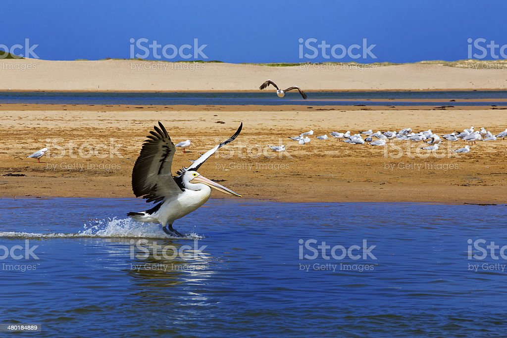 Australian Pelican landing on water stock photo