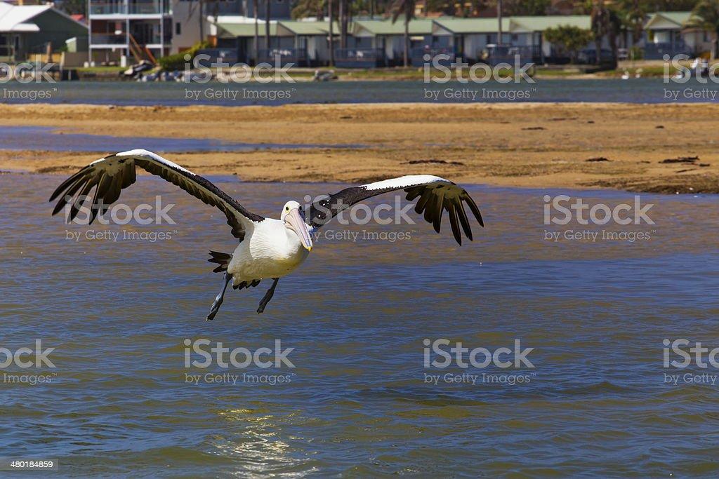 Australian Pelican lands on water stock photo