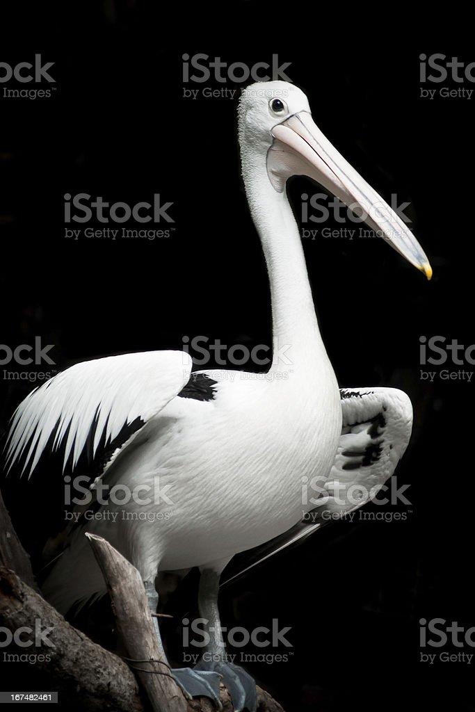 Australian Pelican. royalty-free stock photo