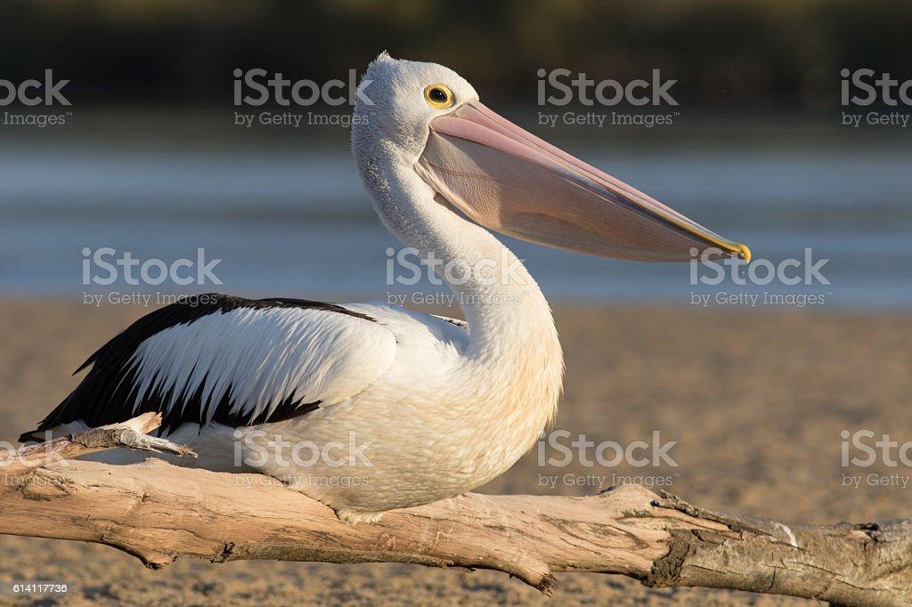 Australian pelican (Pelecanus conspicillatus) stock photo