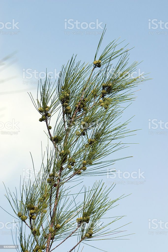 Australian Pine Branch stock photo