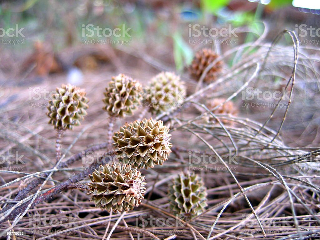Australian pine cone and leave stock photo