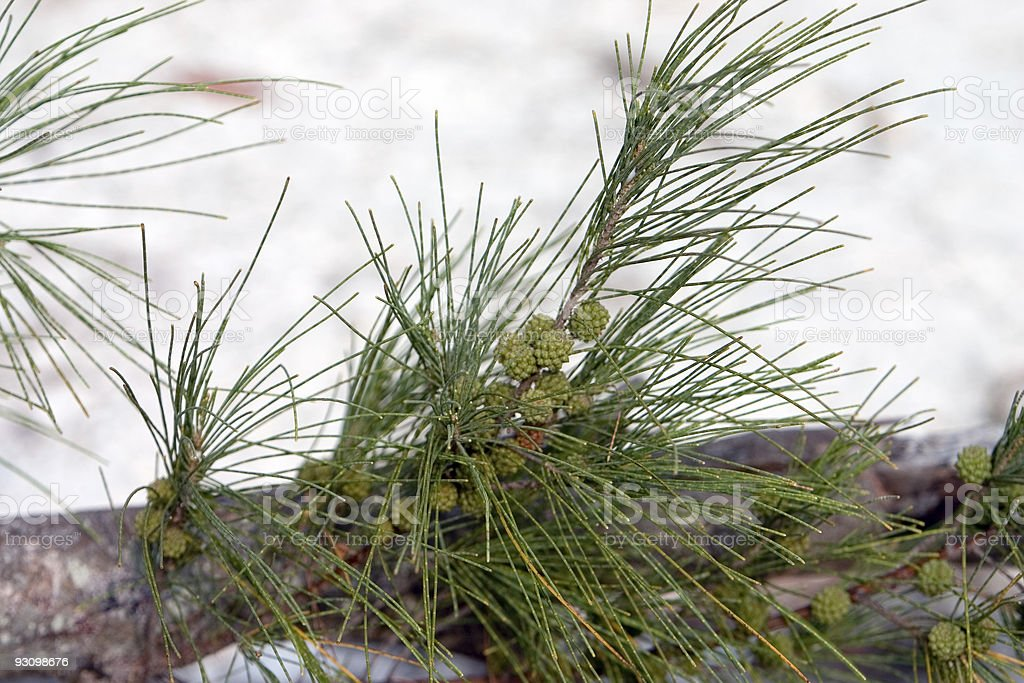 Australian Pine Detail stock photo