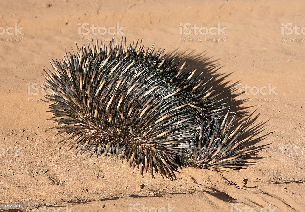 Australian Porcupine (Echidna aculeata) royalty-free stock photo
