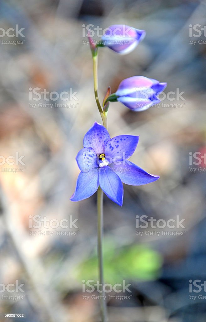 Australian Purple Spotted Sun Orchid stock photo