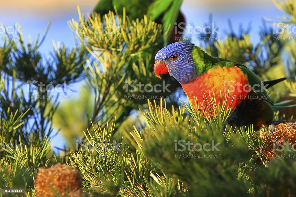 Australian Rainbow Lorikeet in the bush. royalty-free stock photo