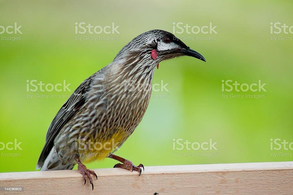 Australian Red Wattle Bird royalty-free stock photo