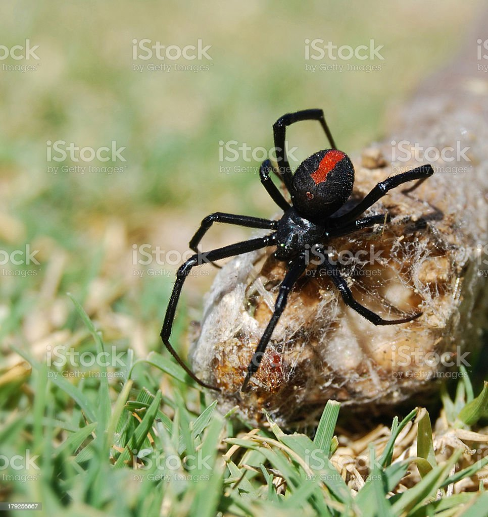 Australian Redback Spider - Black Widow stock photo