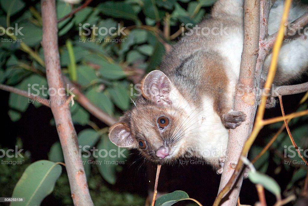 australian ringtail possum stock photo