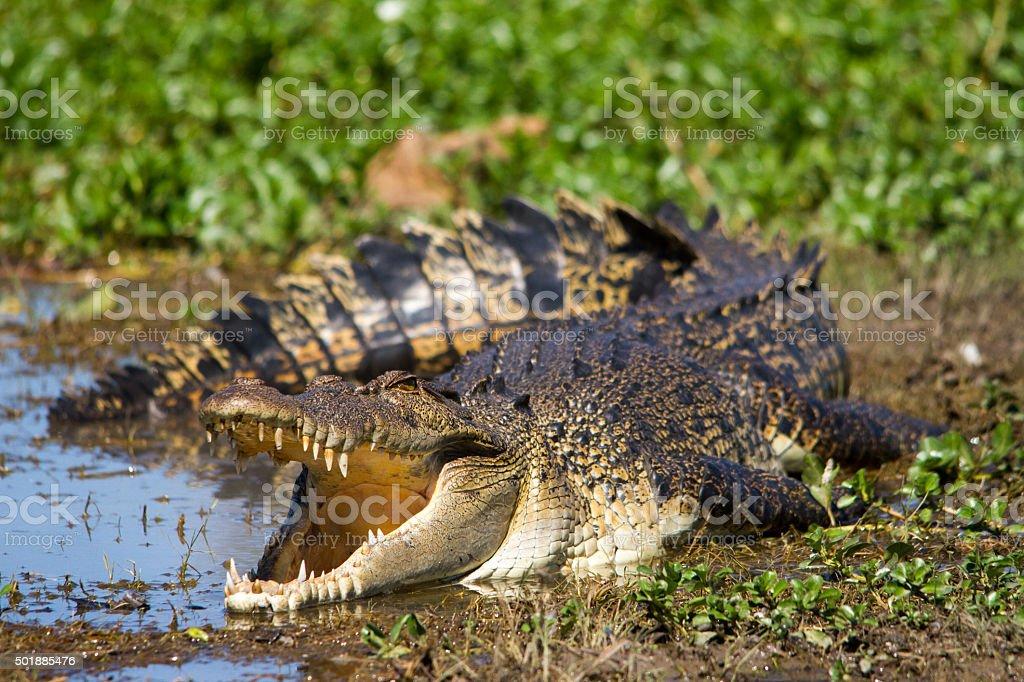 Australian Saltwater Crocodile stock photo