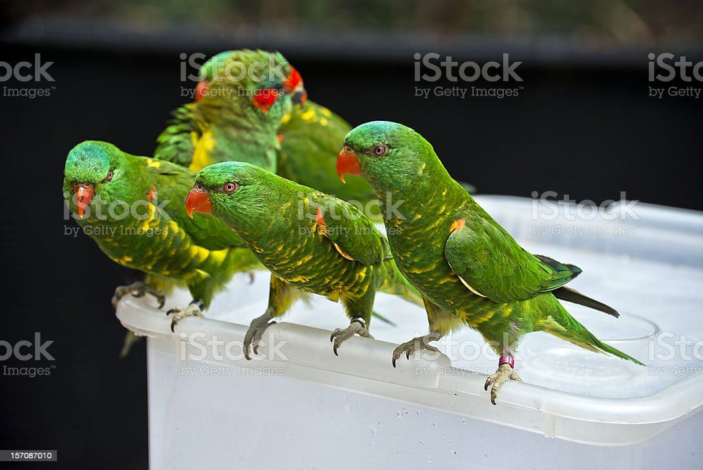 Australian Scaly-breasted lorikeets stock photo