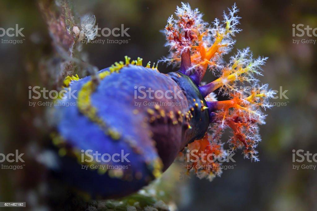 Australian sea apple (Pseudocolochirus axiologus) stock photo