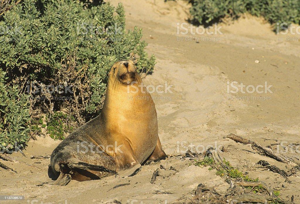 Australian Sea Lion royalty-free stock photo