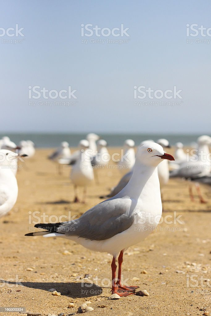 Australian seagull stock photo