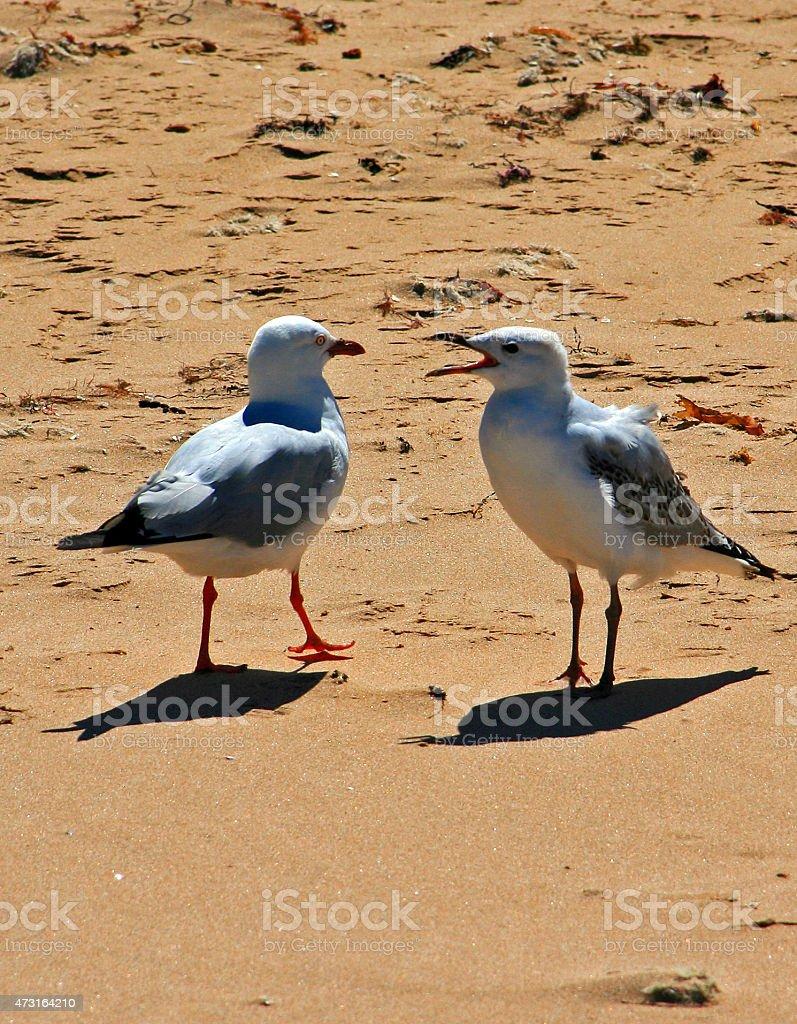 Australian Seagulls in San Remo Philip Island Victoria Australia stock photo