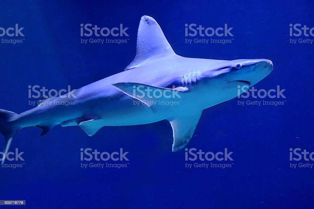 Australian Shark stock photo