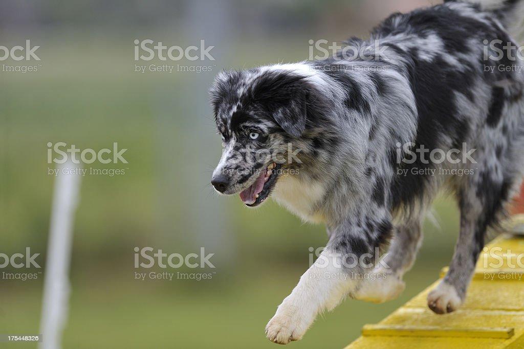 Australian sheepdog stock photo
