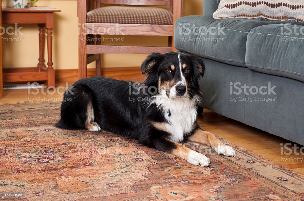 Australian Shepard at home royalty-free stock photo