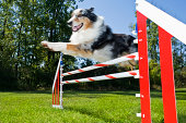 Australian Shepard flying over agility jump