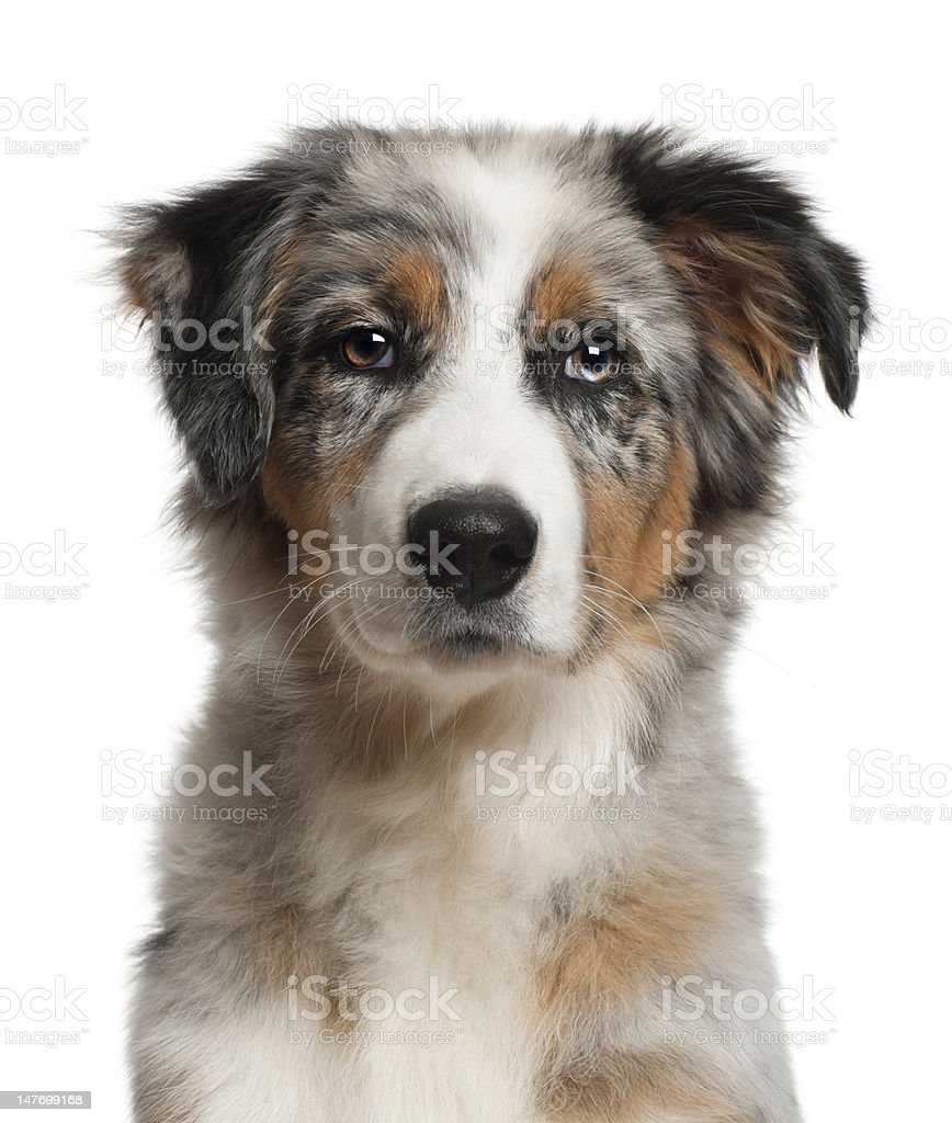 Australian Shepherd, 5 months old, in front of white background stock photo