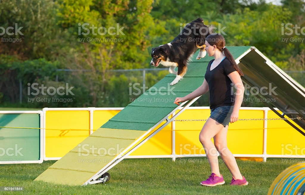Australian shepherd and handler navigate the a-frame in agility competition stock photo