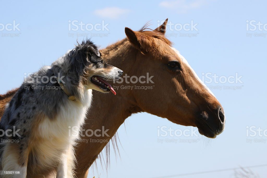 Australian shepherd and horse looking to the distance royalty-free stock photo