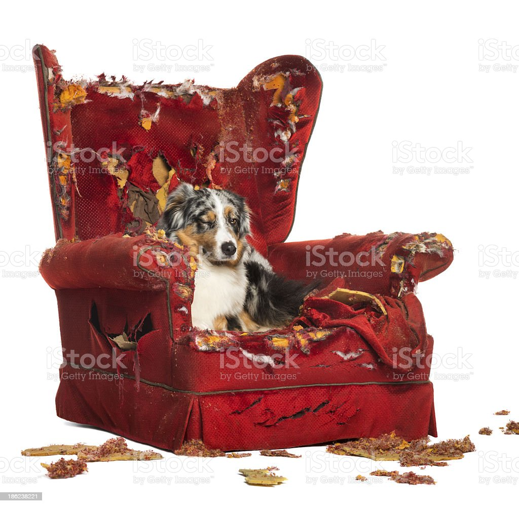 Australian Shepherd and Poodle on a destroyed armchair stock photo